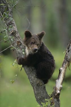Grizzly Cub on Tree by DLILLC