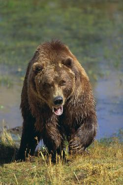 Grizzly Guarding Riverbank by DLILLC