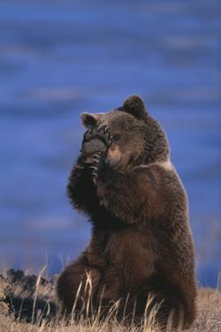 Grizzly Hiding behind Paws by DLILLC