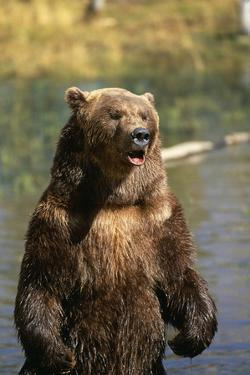 Grizzly Standing in Stream by DLILLC