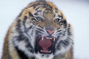 Growling Bengal Tiger by DLILLC