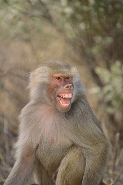 Hamadryas Baboon Baring Teeth by DLILLC