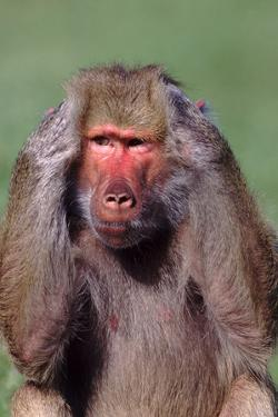 Hamadryas Baboon with Hands on Head by DLILLC