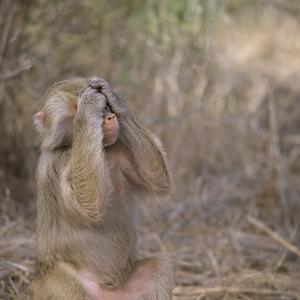 Hamadryas Baboon by DLILLC