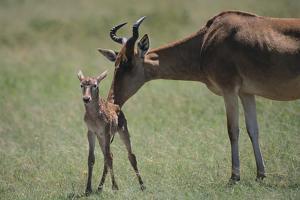 Hartebeest Nuzzling a Newborn by DLILLC