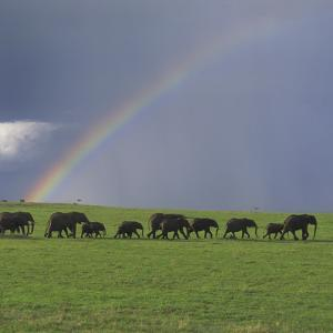 Herd of African Elephants and Rainbow by DLILLC