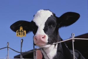 Holstein Calf with Eartag by DLILLC