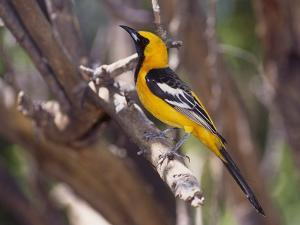 Hooded Oriole on Branch by DLILLC