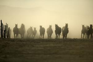 Horses Kicking up Dust by DLILLC