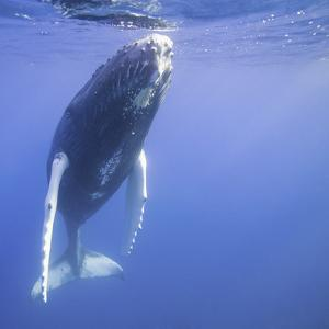 Humpback Calf near Surface by DLILLC