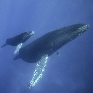 Humpback Mother and Calf by DLILLC