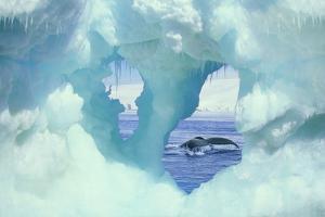 Humpback Whale Breaching by DLILLC