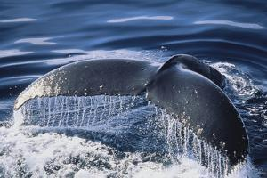 Humpback Whale's Tail Fluke by DLILLC