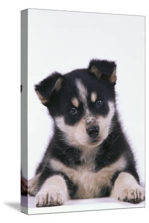 Husky Puppy by DLILLC