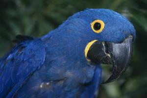 Hyacinth Macaw by DLILLC