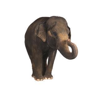 Indian Elephant by DLILLC