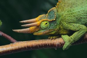 Jackson's Chameleon by DLILLC