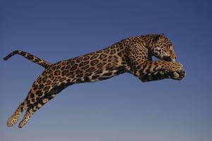 Jaguar Jumping through Sky by DLILLC
