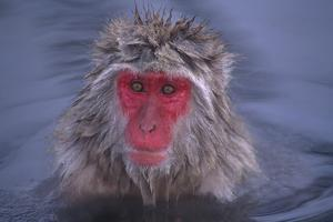 Japanese Macaque in Hot Spring by DLILLC