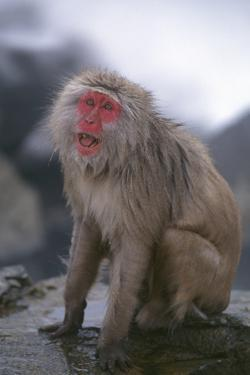 Japanese Macaque on Rock by DLILLC