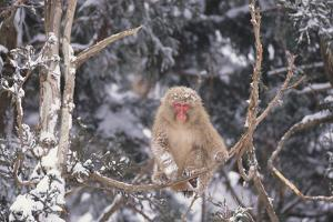 Japanese Macaque Perched on Tree by DLILLC