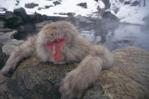 Japanese Macaque Relaxing in Hot Spring by DLILLC