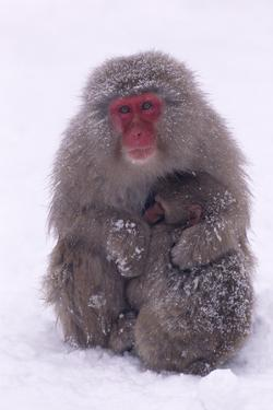 Japanese Macaque with Baby in Snow by DLILLC