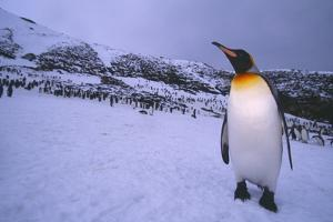King Penguin at Colony on South Georgia Island by DLILLC