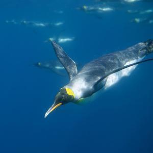 King Penguin Swimming by DLILLC