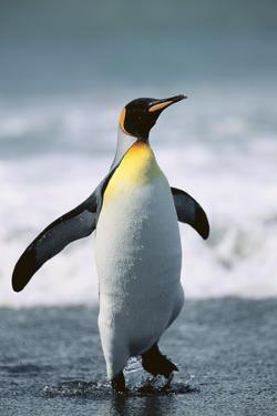 King Penguin by DLILLC