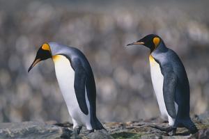 King Penguins Walking on Rocks by DLILLC