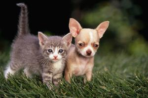 Kitten and Chihuahua Puppy by DLILLC