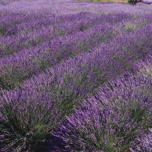 Lavender Fields by DLILLC