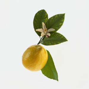 Lemon and Blossom by DLILLC