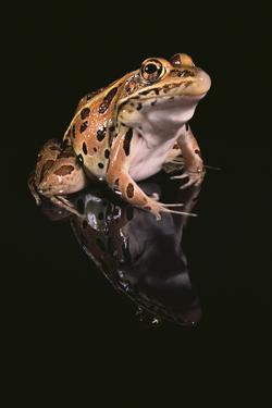 Leopard Frog by DLILLC