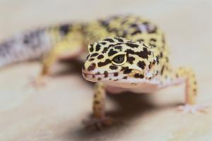 Leopard Gecko by DLILLC