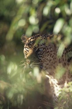 Leopard Hidden by Leaves by DLILLC