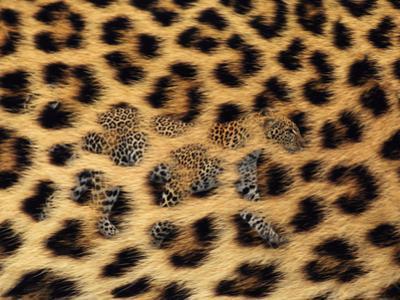 Leopard Walking in Fur Close-Up