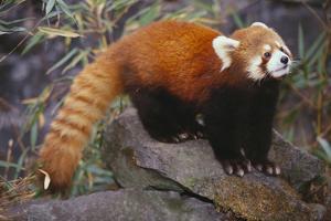 Lesser Panda by DLILLC