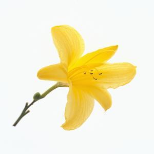 Lily Flower by DLILLC