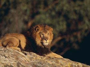 Lion Lying on Rocks by DLILLC