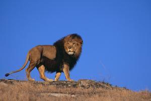 Lion on Hill by DLILLC