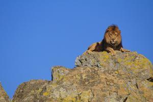 Lion on Rocks by DLILLC