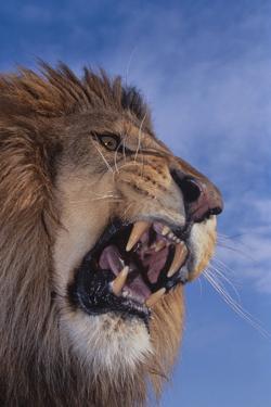 Lion Roaring by DLILLC