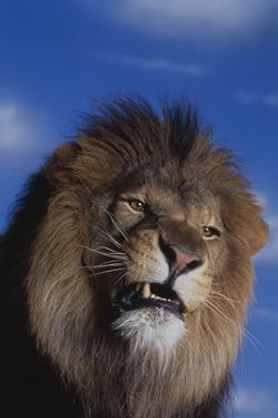 Lion Snarling by DLILLC
