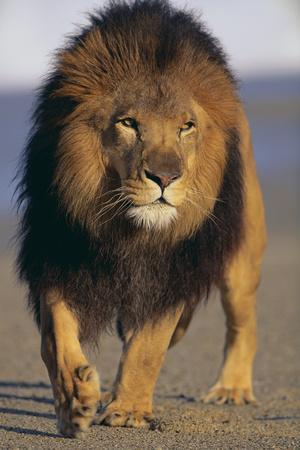 Lion Walking on Sand