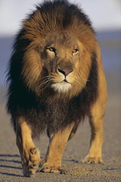 Lion Walking on Sand by DLILLC