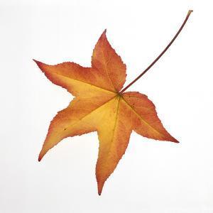 Liquidamber Leaf by DLILLC