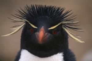 Macaroni Penguin by DLILLC