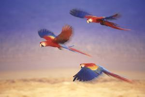 Macaws in Flight by DLILLC